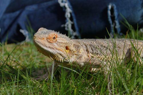 bearded dragon lizard cool