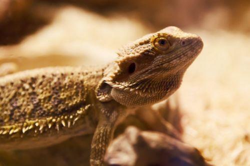 gyvūnas, barzdotas, padaras, dykuma, drakonas, akis, driežas, pogona, vitticeps, raudona, ropliai, reptilian, žvynuotas, oda, šuoliai, geltona, barzdotas drakonas