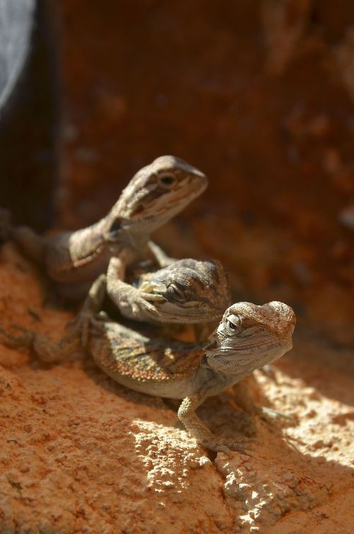 bearded dragons babies young animals