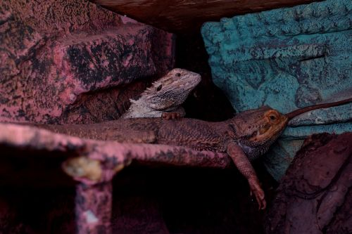 bearded dragons agame tired
