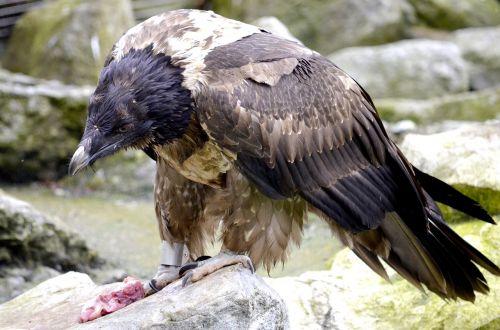 bearded vulture bird of prey eat