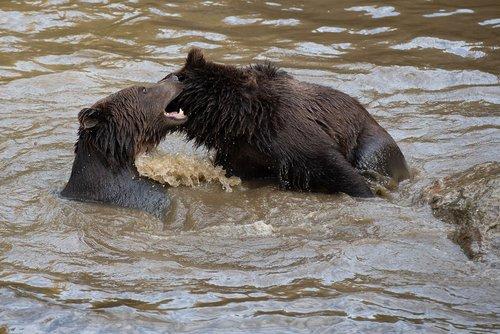 bears  brown bear  teddy bear