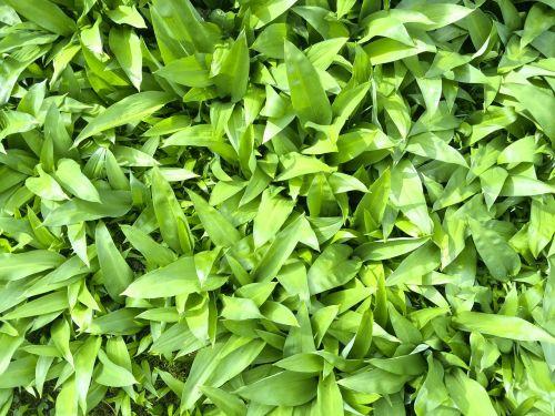 bear's garlic allium ursinum leaves