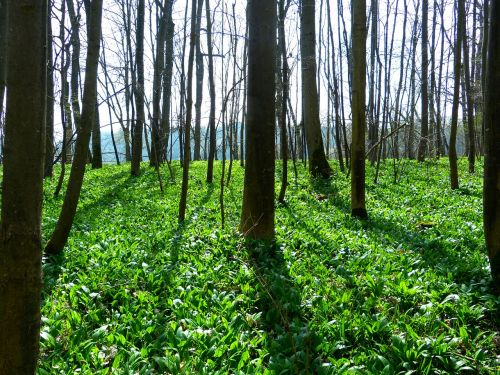 bear's garlic forest plant