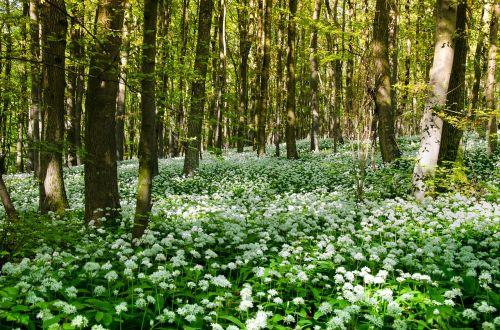 bear's garlic wild garlic herbs