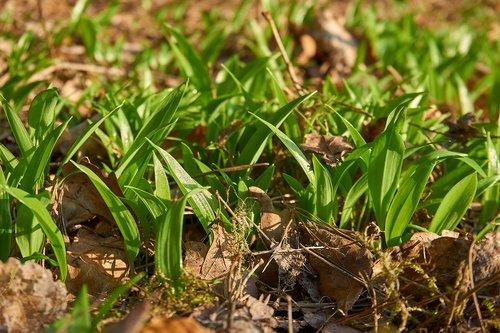 bear's garlic  allium ursinum  wood garlic