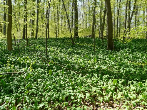 bear's garlic forest forest floor