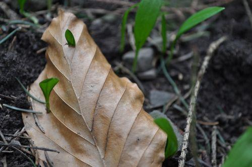 bear's garlic spring medicinal plant