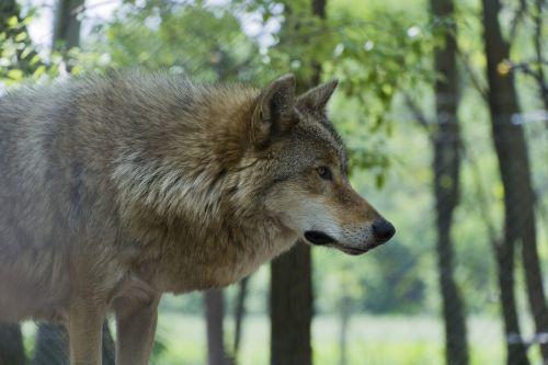 beast wolf predator