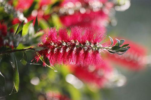 bottlebrush exotic flower callistemon