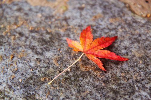 gražus,rudens lapas,spalvinga,klevo lapas,ruduo,kyoto,Japonija