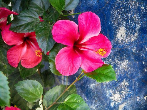 hibiscus,graži gėlė,gėlė,rožinė gėlė,žydi gėlė,tropinės gėlės,raudona,sodas,žalias