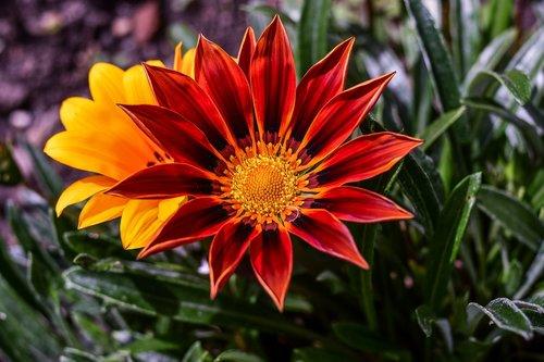 beautiful flower  nature  gérbela beautiful