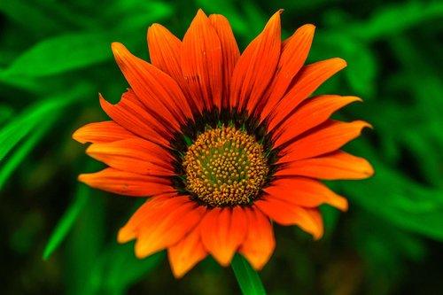 beautiful flower  nature  beautiful gérbela