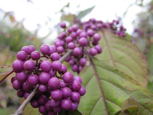 beautiful fruit sprinkles shrub violet