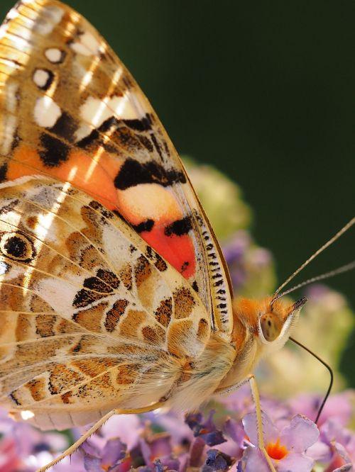 beautiful lady butterfly ledidoptere