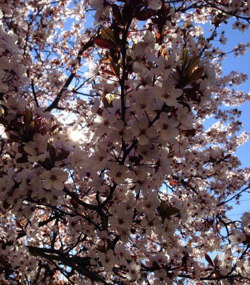 gražus pavasaris,žydi,medis,žiedas,žydėti,pavasaris,augalas,natūralus,rožinis,gėlė,vasara,pavasaris