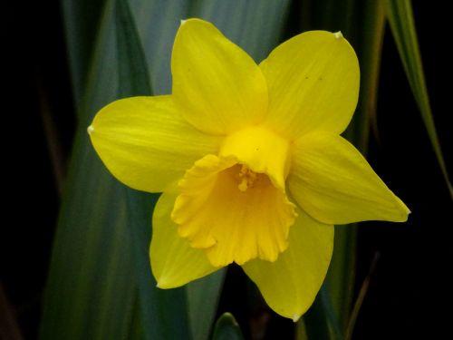 Beautiful Spring Daffodil