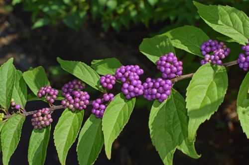 beauty berries shrub summer