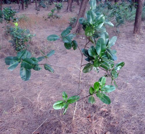 beauty leaf alexandrian laurel sultan champa