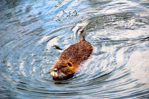 beaver muskrat water
