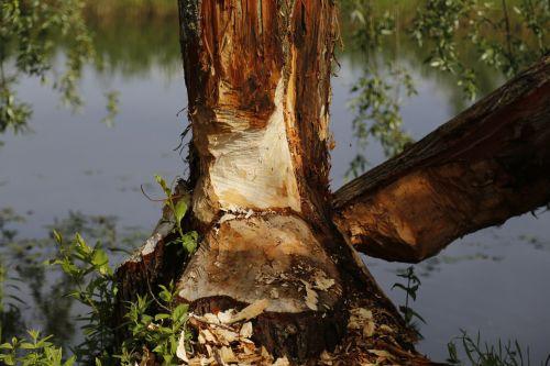 beaver tree nature