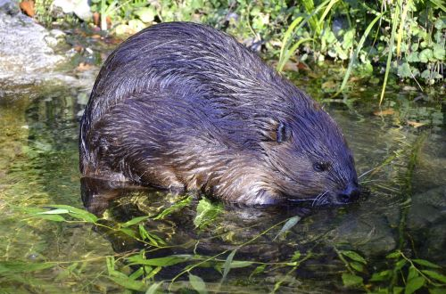 beaver aquatic animal protected