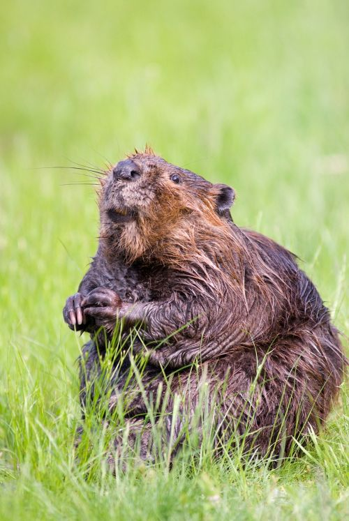 beaver pond wildlife