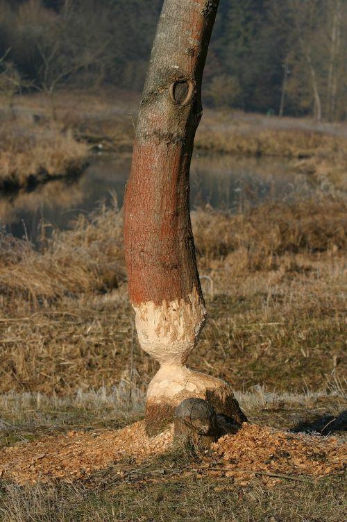 beaver rodents schambach valley