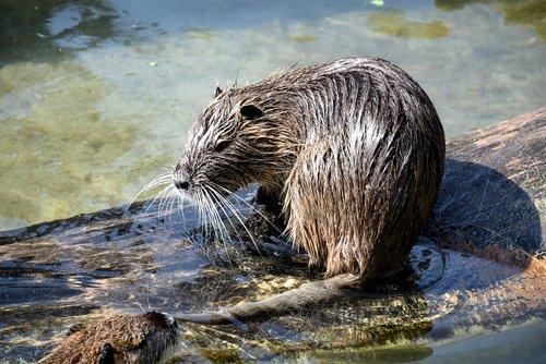 beaver  rodent  mammal