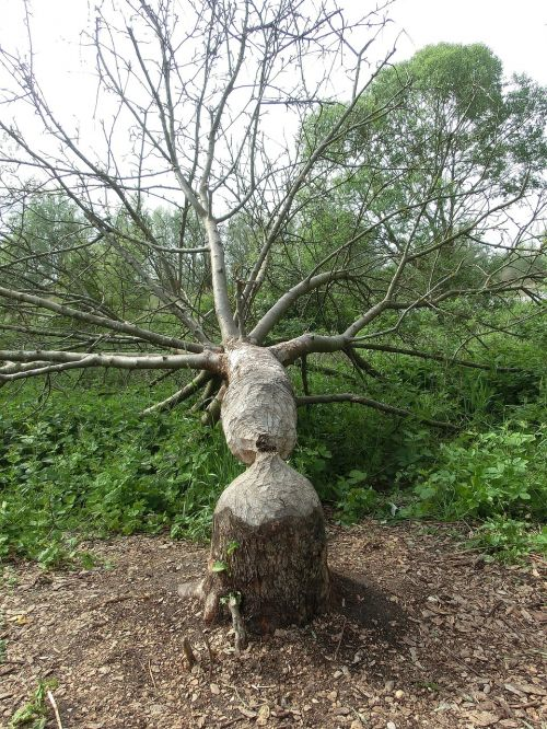 beaver wood tree