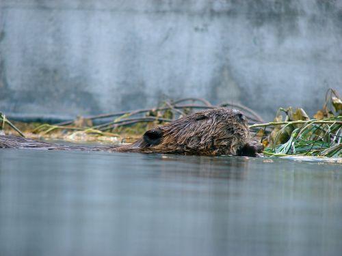 beaver water floats