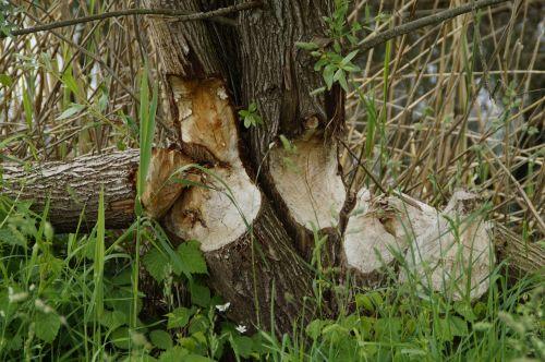 beaver tree trunks feeding