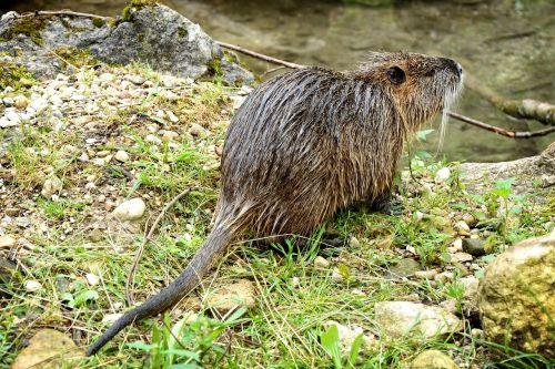beaver coypu nutria