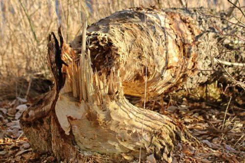 beaver eating tree like