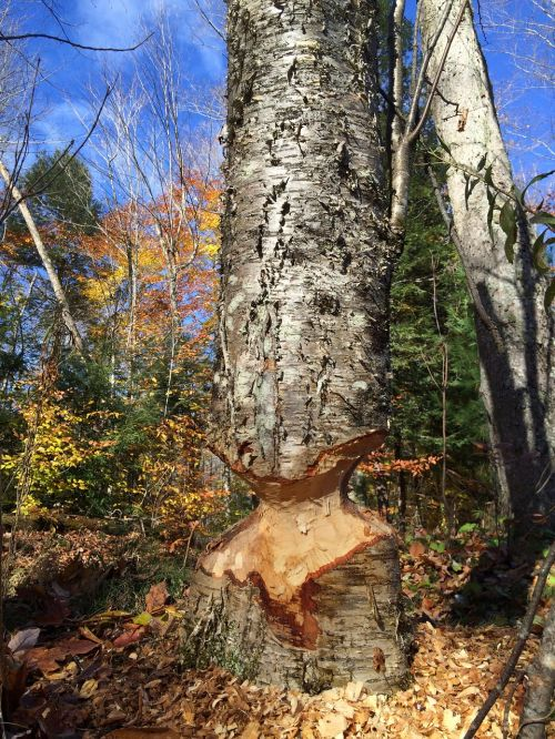 beavers beaver cut destruction