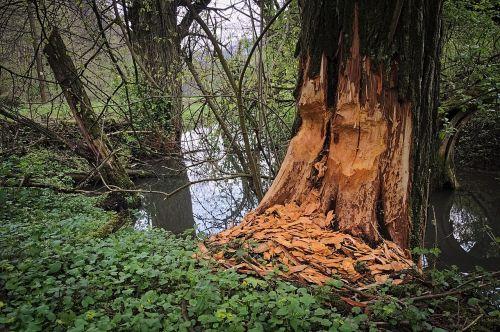 beavers podgryzanie tree