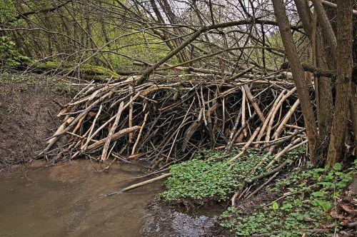 beavers tama the brook