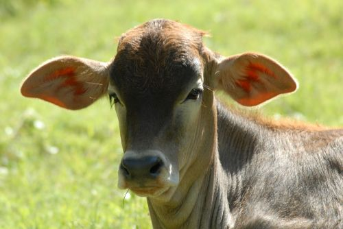 becerrito toro livestock