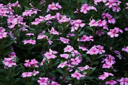 Bed Of Pink Periwinkle
