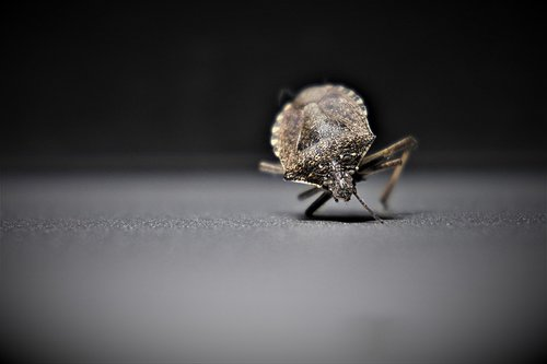bedbugs  insect  arthropods
