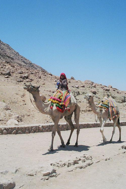 Beduinas,berniukas,dromedaries,šventė,kelionė,Artimieji Rytai,dykuma,akmeninė dykuma,sinai,nuskaityti