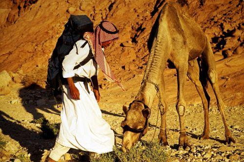 bedouin sinai dromedary