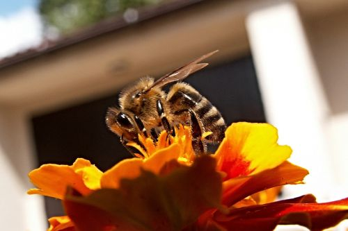 bee insect honey bee