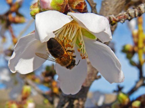 bee almond flower libar