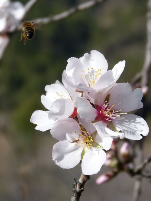 bee flying almond flower