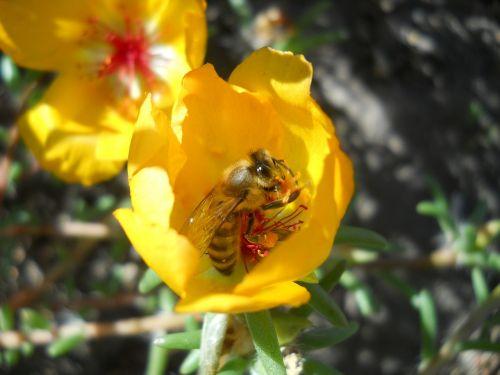 bičių,gėlė,geltona,gamta,insekta,sodas,pavasaris,žiedadulkės,maistas,apdulkinimas,reikmenys,gėlės,žalias,žolė