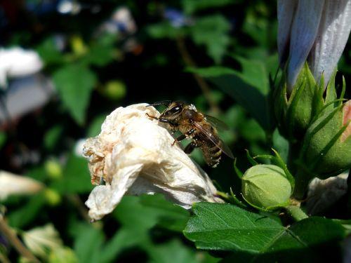 bičių,žiedadulkės,gamta,gėlė,sodas,laukas,žalias,pavasaris,vabzdys,šviesa,polennizare,maistas,žiedlapiai,nektaras