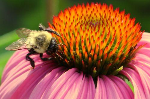 bee bee and flower pollen