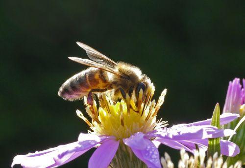 bee honey bee blossom